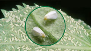 Spiraling Whitefly Control