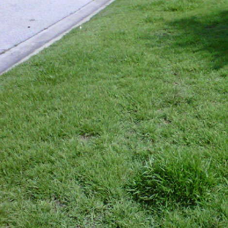 After-Zoysia Grass