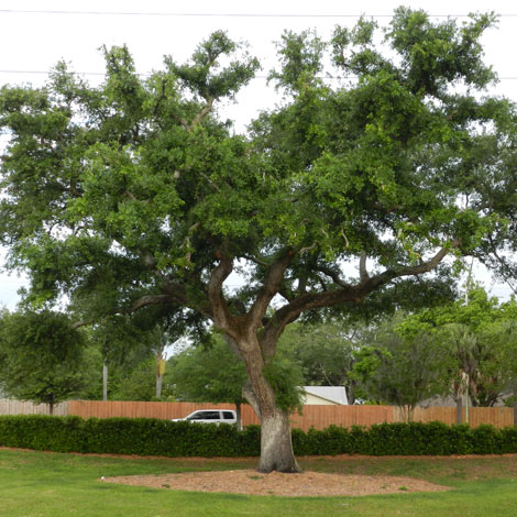 After-Oak Tree
