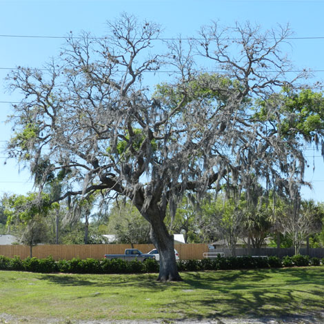 Before-Oak Tree