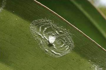 Spiraling Whitefly