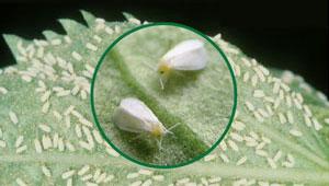 Spiraling Whitefly Control