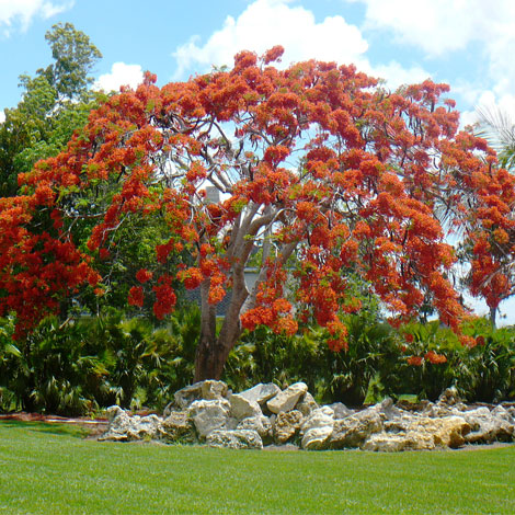 After-Royal Poinciana