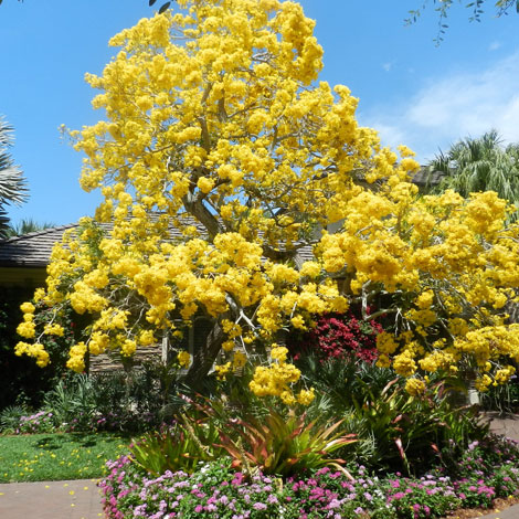 After-Yellow Tabebuia