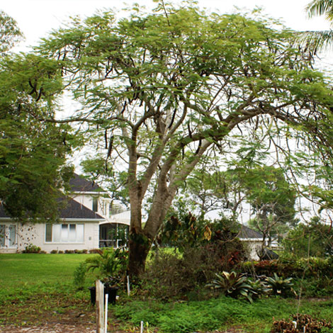 Before-Royal Poinciana